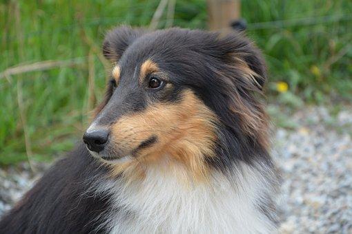 Dog Shetland Sheepdog, Profile, Color Tri-color, Male