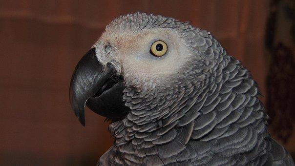 African Grey, Parrot, African, Grey, Bird, Pet, Beak