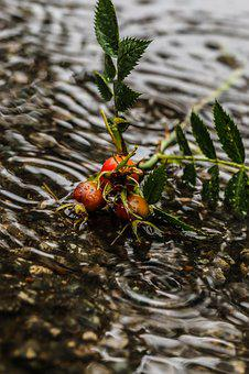 Rose-hip, Herb, Plant, Puddle, Water, Rain, Drops