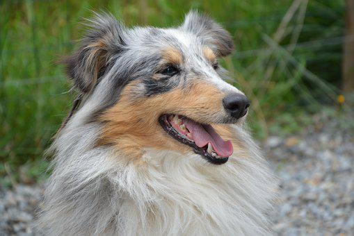 Dog, Shetland Sheepdog, Profile, The Long Muzzle End
