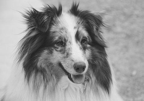 Dog, Shetland Sheepdog, Portrait, Photo Black White