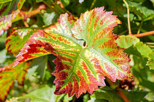 Wine Leaf, Leaf, Colorful, Bright, Red, Red Gold, Sun