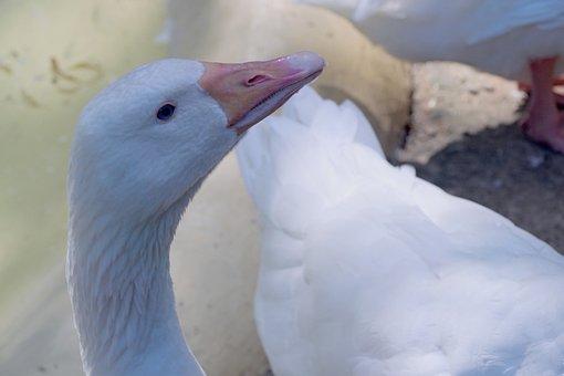 Goose, The Head Of The Goose, Bird, Bird Home