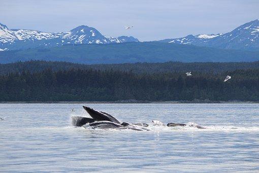 Whale, Alaska, Water, Wildlife, Travel, Fish