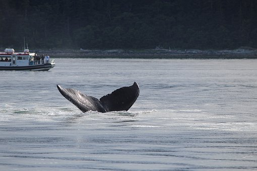 Alaska, Whale, Tail, Water, Nature
