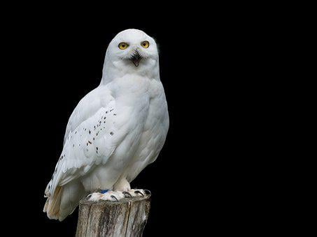 Bird, Snow Owl, White, Owl, Animal, Yellow Eyes