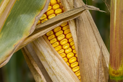 Corn, Corn On The Cob, Autumn, Fodder Maize
