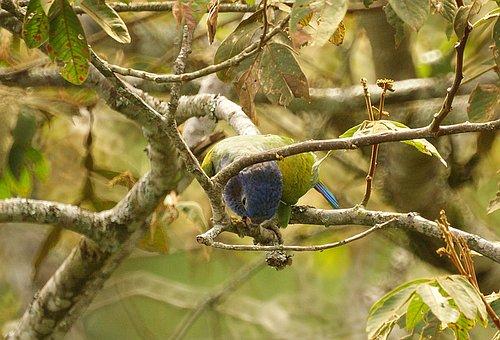 Parrot, Ave, Bird, Bird Watching, Green, Armenia