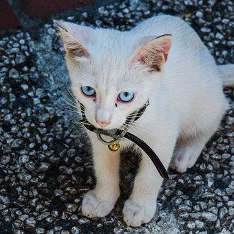 Cat, Cute, Animal, Kitten, Domestic, Eyes, Blue, Young
