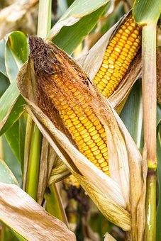 Corn, Corn On The Cob, Fodder Maize, Cereals