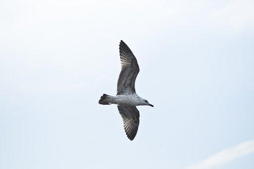 Seagull, Bird, Fly, Peace, Environmental, Birds, Nature