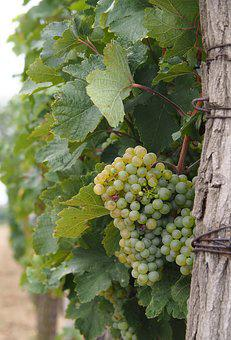 Wine, Vine, Grapevines, Winegrowing, Grapevine, Grapes