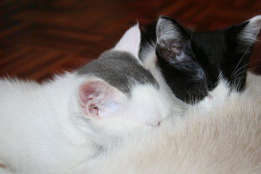 Animal, Kitty, Suckling Kittens, White Grey, Black