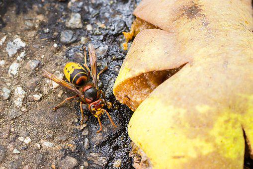 Hornet, Food Source, Insect, Vespa Crabro, Hymenoptera