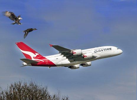 Eagle, Duck, Qantas, Airline, Wild, Wildlife, Nature