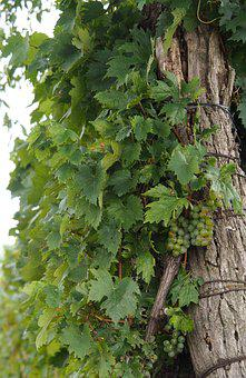 Vine, Grapevine, Wine, Winegrowing, Vineyard, Slope