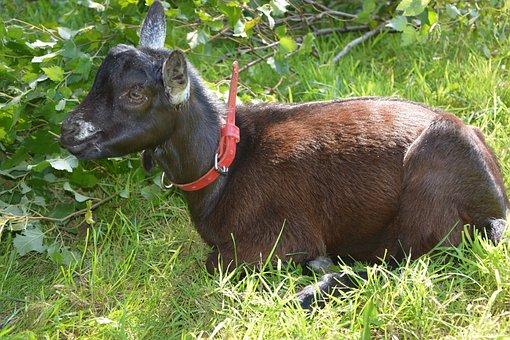 Goat, Kid, Lounging, Nature, Animal, Field, Fields