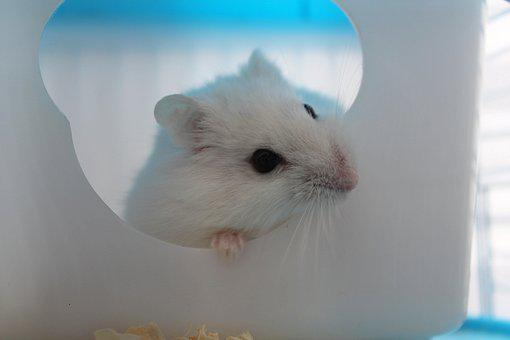 Hamster, Rodent, Animal, Pet, Nature, Favorite, Small