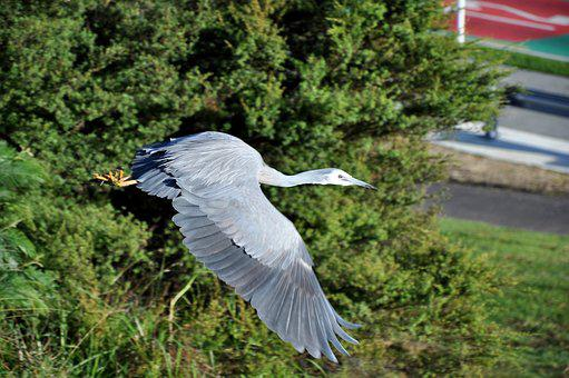 Heron, White Faced, Inflight