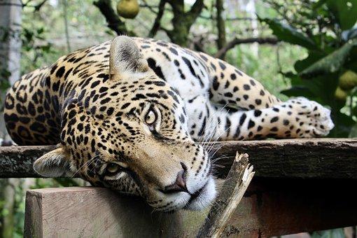 Jaguar, Feline, Animal, Wild, Cat, Wildlife, Leopard