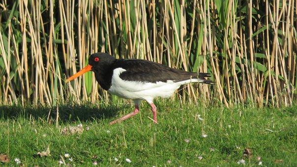 Oystercatcher, Bird, Nature, Stilt-walker, Bonte Piet