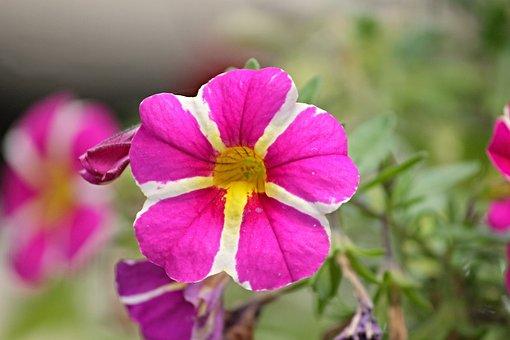 Petunia, Garden Petunia, Solanaceae, Pink