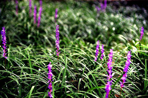 Liriope, Flowers, The Nature Of The, Purple, Nature