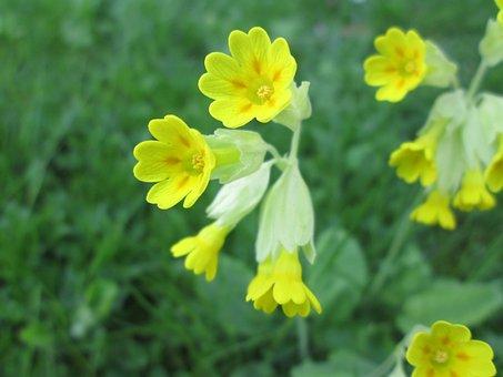 Primula Veris, Roses Are, Viveväxter, Spring Flower
