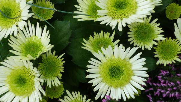 Aster, Flower, White, Flowers, Inside, Yellow, Grüne