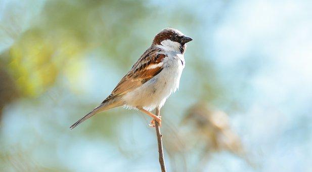 Home Sparrow, Beautiful Sparrow, Pakistani Sparrow