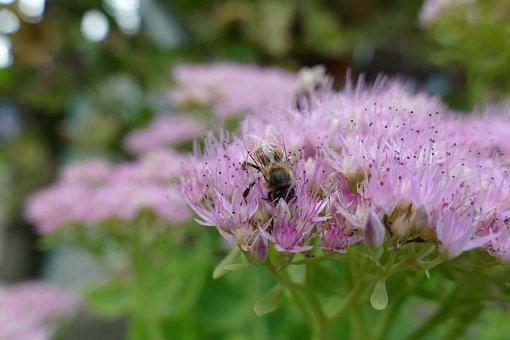 Bee, Fat Hen, Nectar, Bee Plant