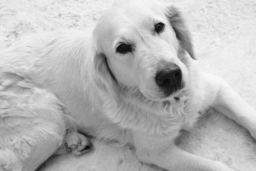Dog, Bitch, Photo Black White, Retriever