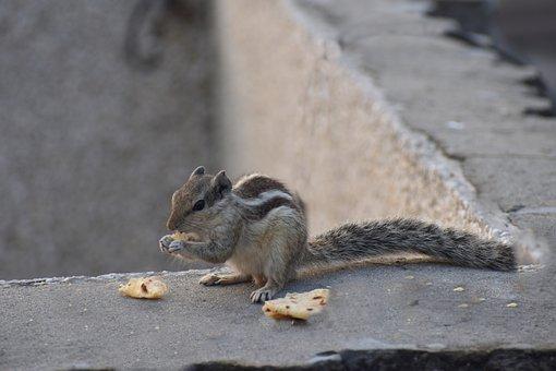 Squirrel, Eating, Bread, Three-striped Palm Squirrel