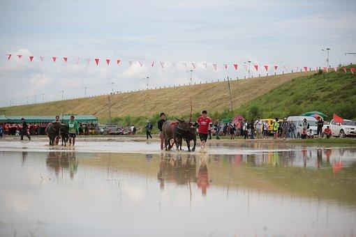 Buffalo, Festival, Animal, Culture, Asia, People