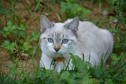 Cat, Pussy, Kitten, Young Cat, Look, Blue Eyes