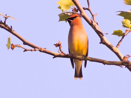 Cedar Wax Wing, Sycamore Tree, Bird