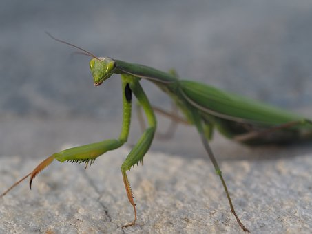 Praying Mantis, Green, Insect, Fishing Locust, Close