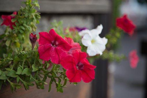 Flowers, Petunias, Plant, Flower, Petun′â, Closeup