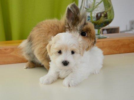 Hug, Rabbit, Dog, Cotton Tulear, Pets, Domestic Animal