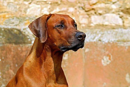 Rhodesian Ridgeback, Dog, Purebred Dog, Looks