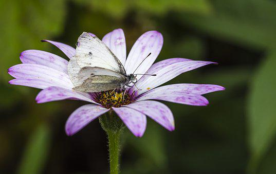 Butterfly, Lepidoptera, Nature, Fauna, Large White