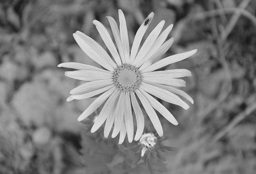 Flower, Flowers, Marguerite, Photo Black White, Nature
