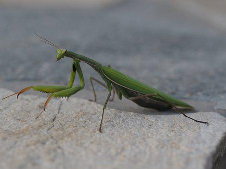 Praying Mantis, Green, Insect, Fishing Locust, Close Up