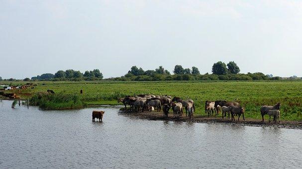 Wild Horses, Horses, Nature Reserve, Lauwersmeer
