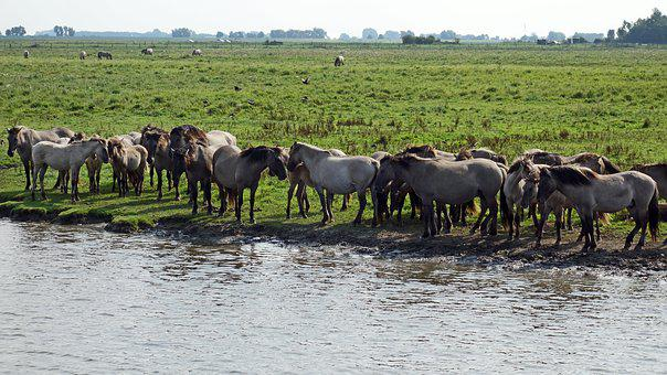 Wild Horses, Horses Herd, Nature Reserve