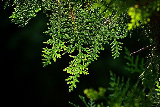 Thuja, Tujafa, Evergreen, Wood, Bough, Pine, Lights