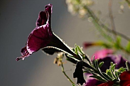 Petunia, Garden Petunia, Solanaceae, Pink, Sunlight
