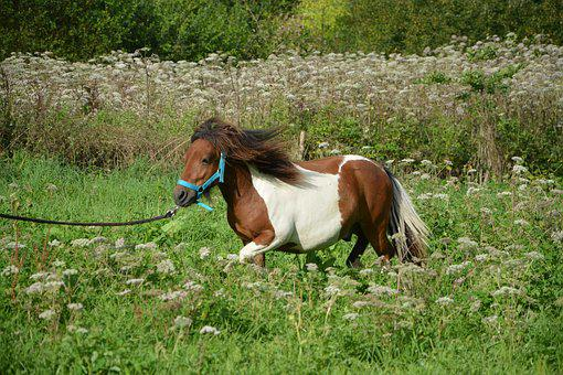 Shetland Pony, Run, Horse Brown White, Prairie, Pre