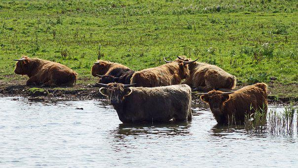 Aurochs, Nature Reserve, Protected Nature