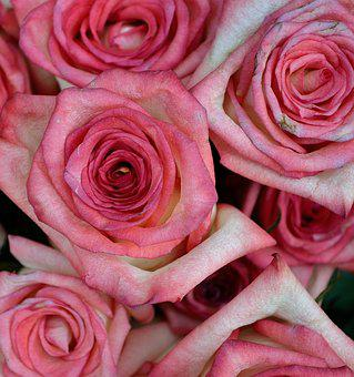 Pink Roses, Roses, Flowers, Plants, Plant, Pink